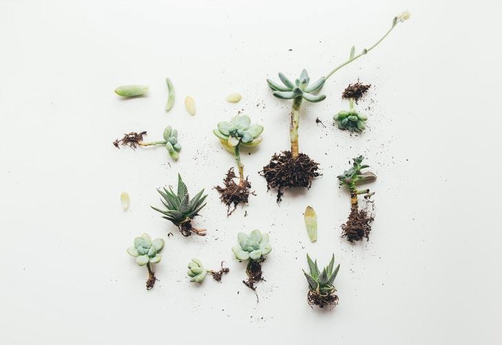 Brotos de espécies de plantas suculentas.